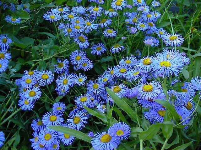 Морозко цветок