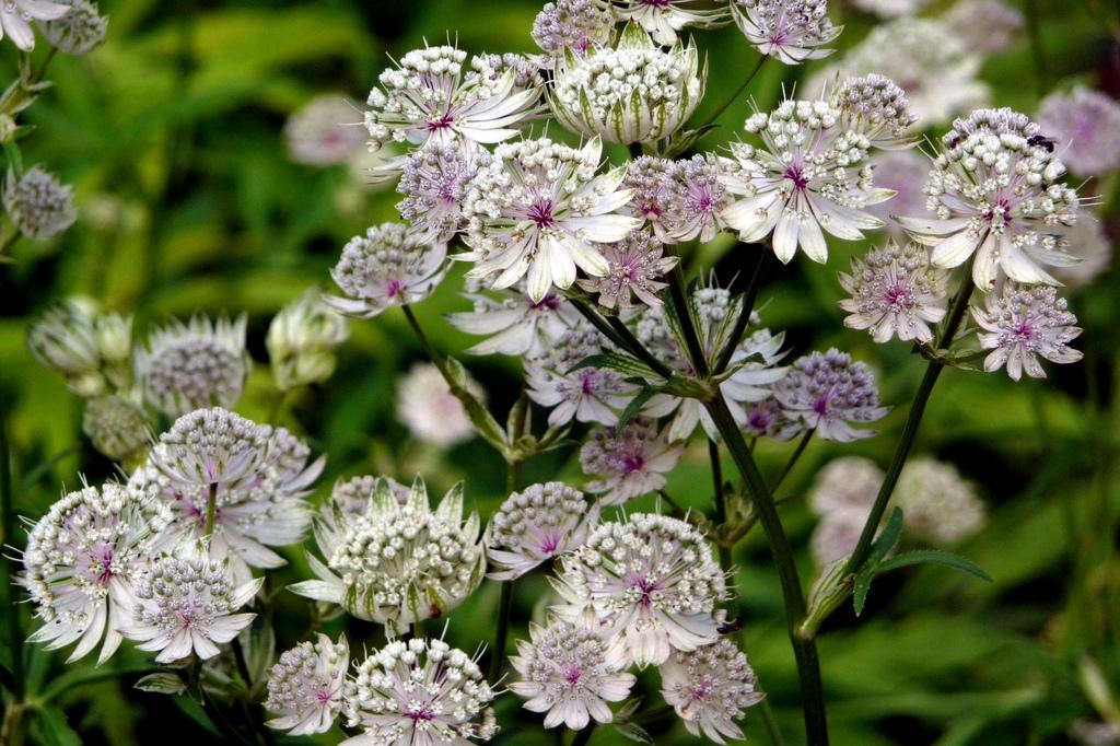 многолетние цветы фото и название: